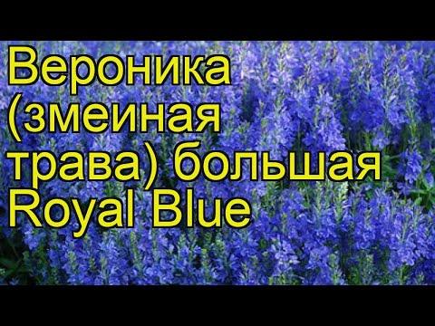 Вероника большая Роял Болю (Royal Blue). Краткий обзор, описание характеристик, где купить саженцы
