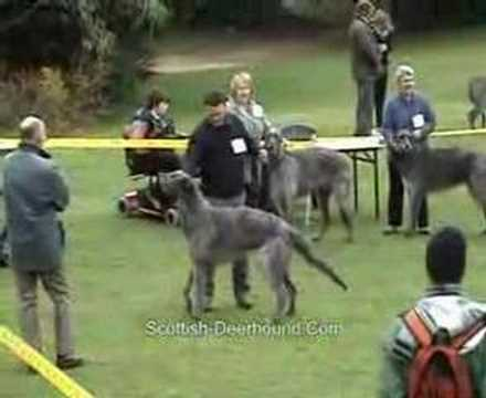 Dog Undergraduate UK Deerhound Breedshow 2008