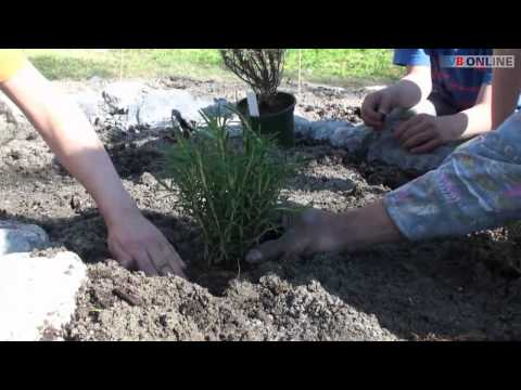 Fette Henne gepflanzt