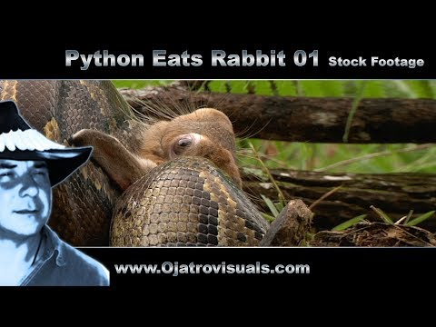 Python Eats Rabbit Stock Footage
