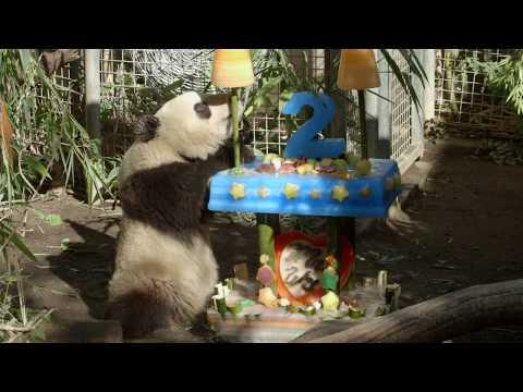 Giant Panda Xiao Liwu Grown Up