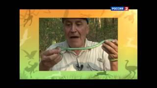 Н. Н. Дроздов и плетевидная змея