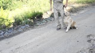 ペットのブリーダーワンブーでは犬のしつけにも力を入れています。 http...
