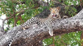 RPA Transwal Południowa Afryka Safari w Afryce. Kruger National Park RPA