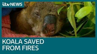 Lewis the Koala saved from Australian wildfires | ITV News