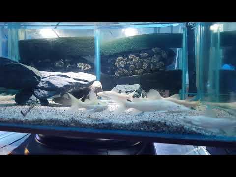 Albino Red Tail Catfish And Lutino Red Tail