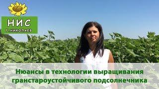 Нюансы в технологии выращивания гранстароустойчивого подсолнечника