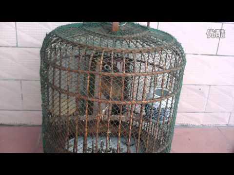 Cách thuần chim hoạ mi kiểu tàu khựa