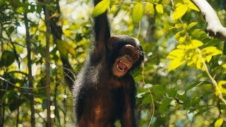Baby Chimps Visit The Forest For The First Time | BBC Earth
