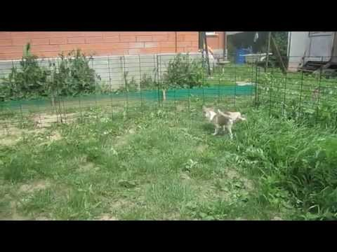 Чихуахуа 6 - Рождественские щеночкииз YouTube · Длительность: 1 мин37 с  · Просмотров: 250 · отправлено: 07.01.2017 · кем отправлено: Марина Белкина