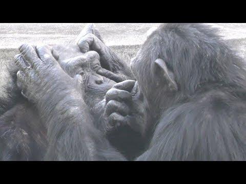 【京都市動物園】チンパンジー、目の掃除 Chimpanzee, cleaning of eyes.