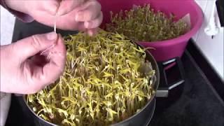 Как проращивать маш ( фасоль ) для еды в домашних условиях.Проростки маша ( фасоли ).