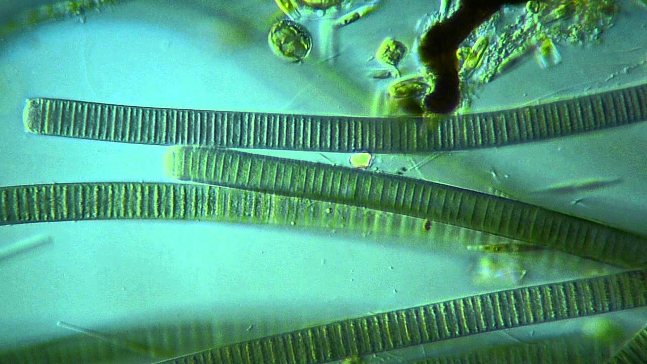 Oscillatoria sp 500X - YouTube
