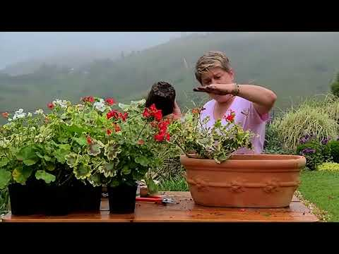 Planting Pelargoniums In Spring