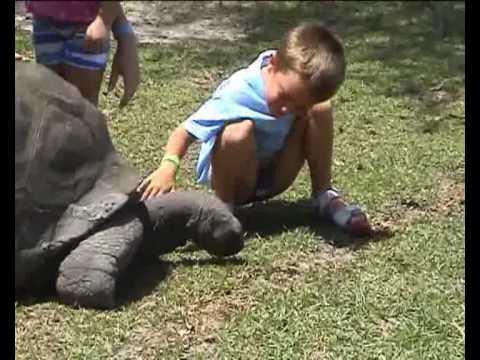Le tartarughe giganti di curieuse youtube for I gatti mangiano le tartarughe