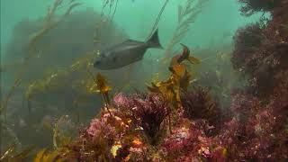 Channel Islands Kelp Forest Cam 01-18-2017 14:00:06 - 14:59:55 thumbnail