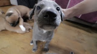 Getting our very first Whippet puppy!