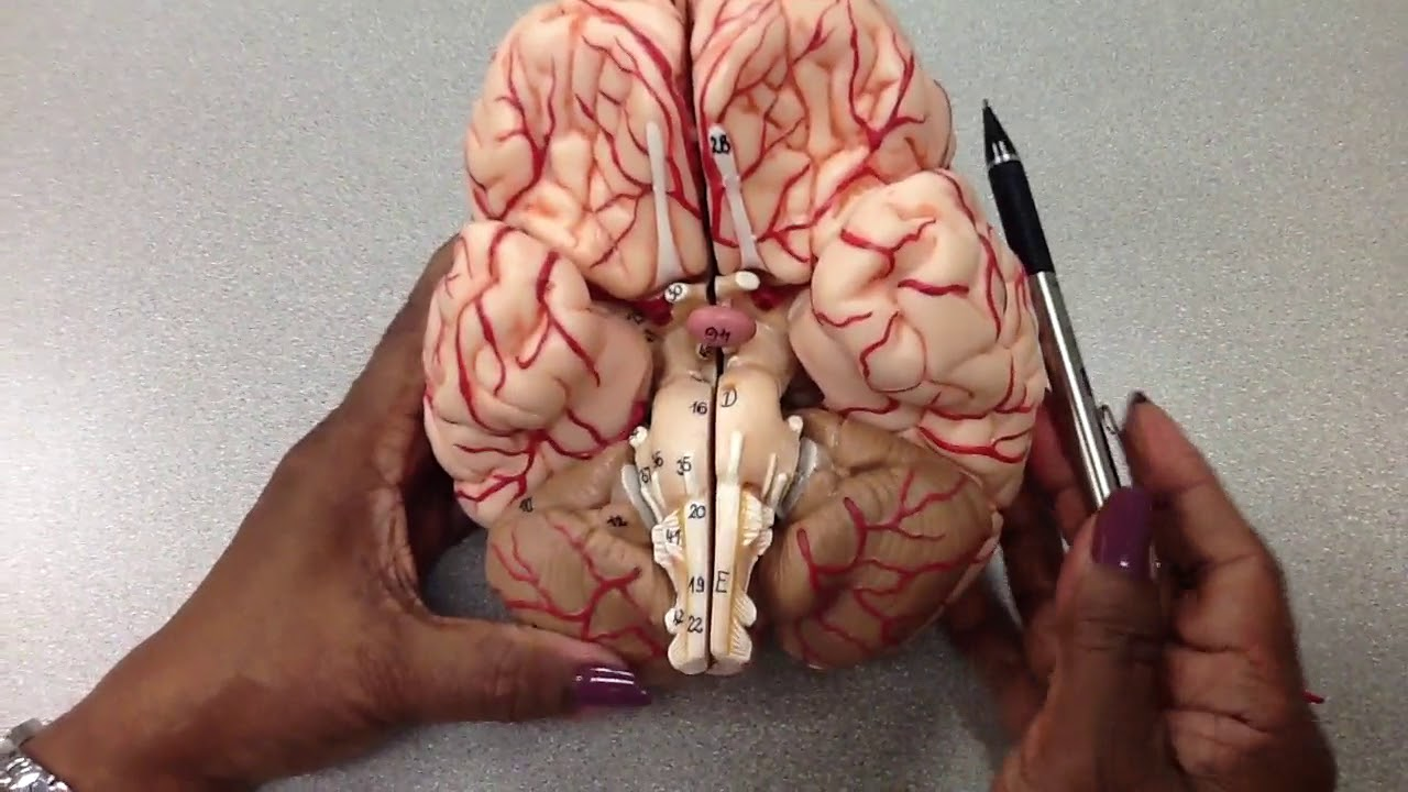Nervous System Arteries Of The Brain Viewed From Base Of Brain