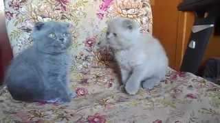 Кошечки вислоушки 2 мес.
