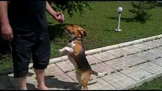 Бигль.Французская охотничья порода.добрая собака