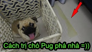 😁Cách Trị Chó Pug Dậy Thì Không Nghe Lời Chủ - Hiệu quả tức thì =)) ⏩ Pugk vlog