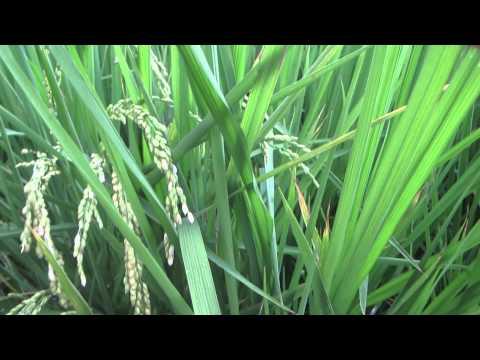 Как выглядит рис когда растет
