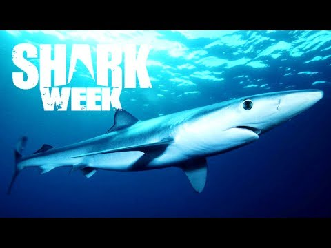 5 Amazing Facts About Blue Sharks | Shark Week