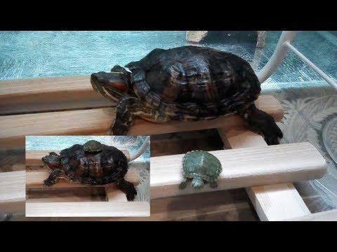 Как определить возраст красноухой черепахи.