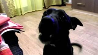 Попросили собаку рассказать стишок