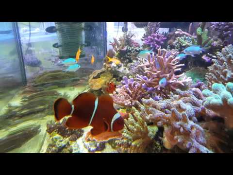 jewel vision 450 marine reef tank. picasso trigger fish regal tang copper band Feb 2016
