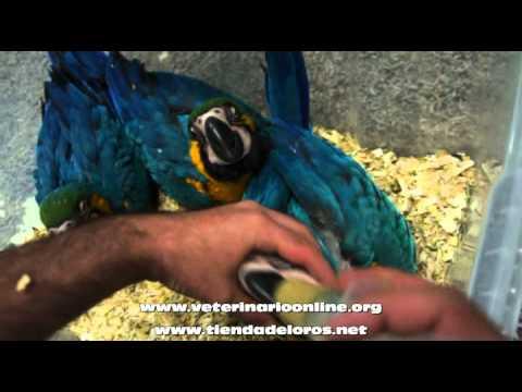 Damos de comer a pollitos papilleros de Ara ararauna - Veterinario Online