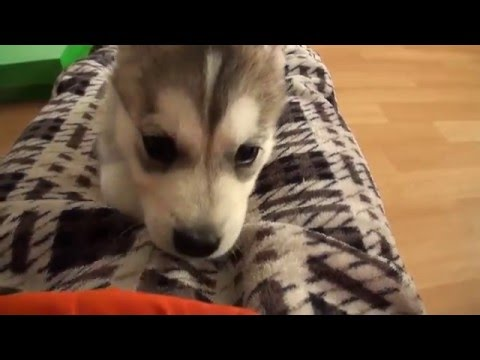 Impossibly Cute Husky Puppy: Wolfie's First Week