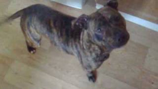 Millie The Talking Staffordshire Bull Terrier Dog Plays D...