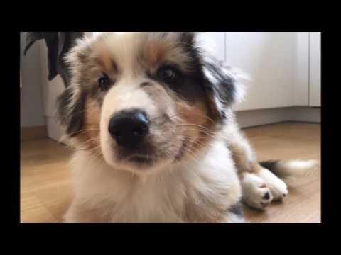 Storm The Australian Shepherd Puppy - 3 months