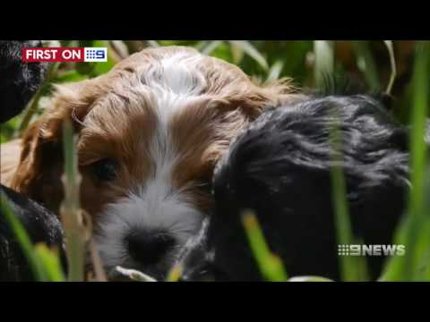 Puppy Scam | 9 News Perth