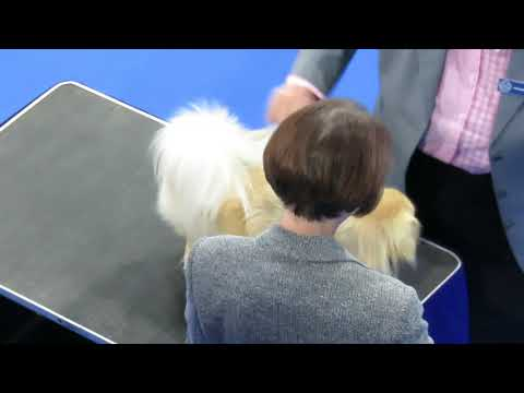 Finlay the Tibetan Spaniel at Midland Counties Champ Show