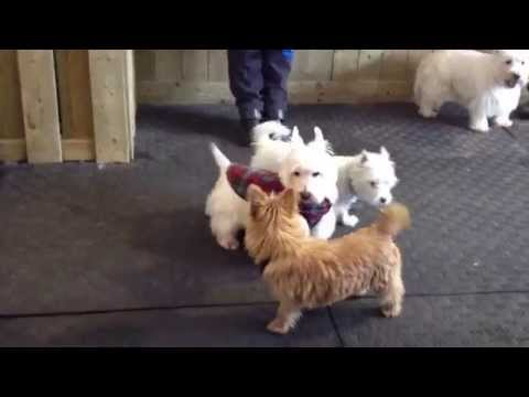 Biggie The Norwich Terrier Playing with West Highland Terriers.