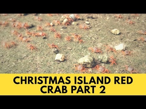 CHRISTMAS ISLAND RED CRAB PART 2