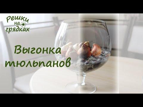 Выгонка тюльпанов в домашних условиях Как вырастить тюльпаны дома к 8 марта