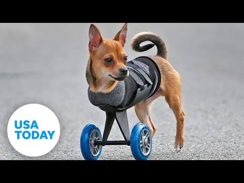 This two-legged dog's wheels are cooler than yours! - YouTube