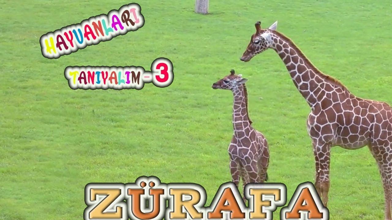 Zürafa , Hayvanları Tanıyalım , Hayvanlar , Hayvanları Öğrenelim , Hayvanlar alemi , Didiyomtv