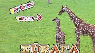 Zürafa , Hayvanları Tanıyalım , Hayvanlar , Hayvanları Öğrenelim , Hayvanlar ale