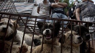 dogs killed to be eaten yulin dog meat festival 2015
