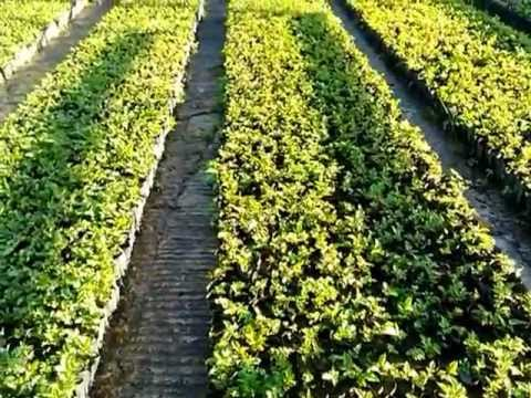 Zarzamora plantas en desarrollo en viveros natura los for Viveros plantas en temuco