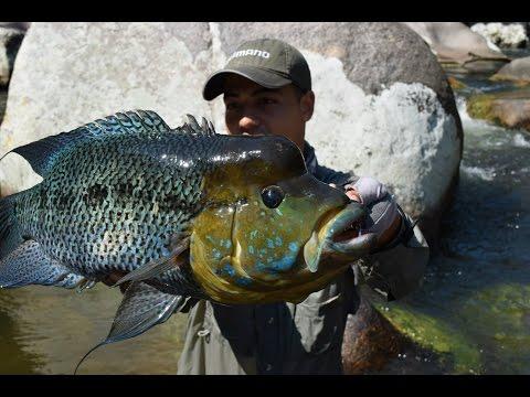 CRISTIAN VANEGAS Pesca De Mojarra Azul En Colombia, (caquetaia Umbrifera) Umbee Fishing Colombia