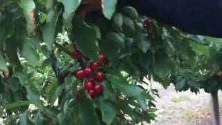 Интенсивный карликовый сад черешни - Питомник Маценко