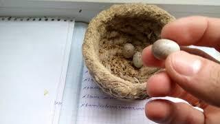 Канарейки,вывод птенцов .яйца из инкубатора нашли насетку и изних вылупился птинец