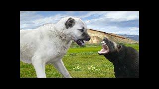 カンガル(Kangal)は、シヴァス州のトルコ出身の大型家畜犬の品種です...