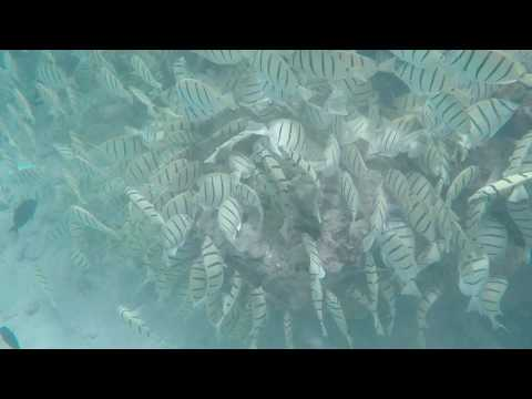 Reef Triggerfish HI State Fish   Convict School