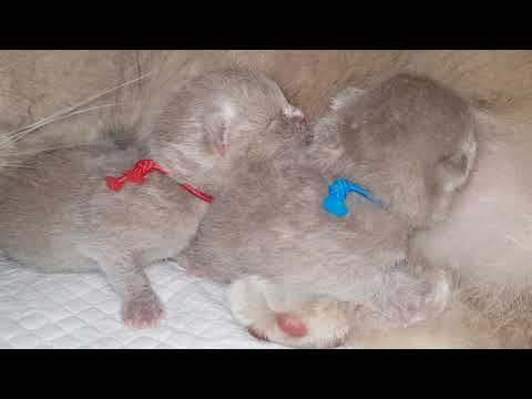 British Shorthair Kittens 1 Day Old ( Britneys Kittens Born today)